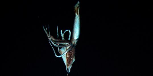 Video still of a giant squid, near the Ogasawara islands, Japan, in July 2012 (© NHK/NEP/Discovery Channel/Reuters)