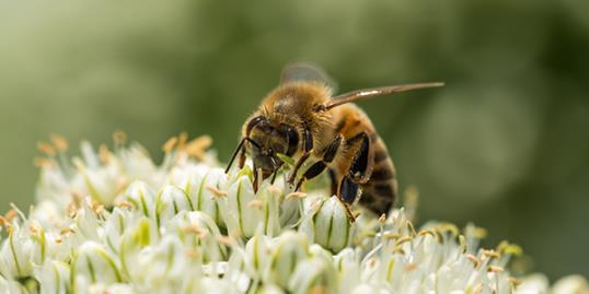 Photo: Bee / more than 30 million bees found dead in Canada / Getty Images
