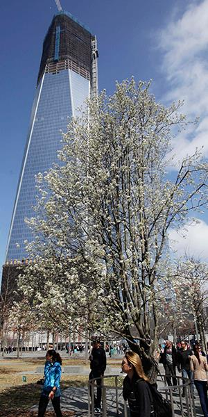 Visitors to the September 11 memorial pass the Survivor Tree on March 20, 2012, at the World Trade Center in New York. The Callery pear, salvaged from the rubble following the attacks of September 11, 2001, was nursed back to health and replanted at the memorial. (Mark Lennihan/AP)