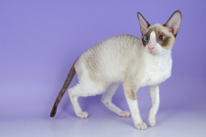 Cornish Rex — Kitty Comedian