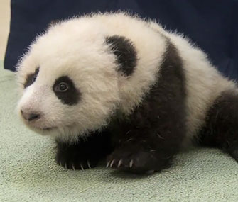 Photo: YouTube / San Diego Zoo / The San Diego Zoo named its panda cub Xiao Liwu, which means little gift.