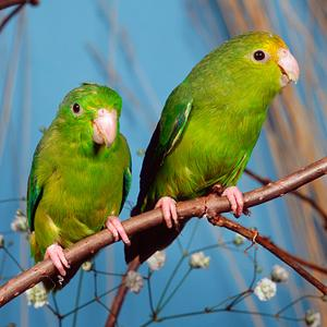 Image: Green-rumped Parrotlet (Arco Images GmbH/Alamy)