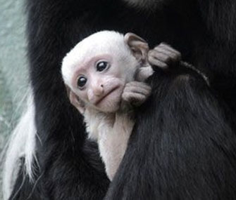Photo: A baby Colobus monkey is on display at the St. Louis Zoo. 