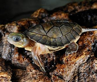 Photo: Julie Larsen Maher, WCS // One of the Chinese yellow-headed box turtles at the Bronx Zoo