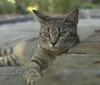 Photo: CNN // One of the Hemingway home's cats lounges in Key West.