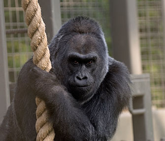 Photo: Columbus Zoo and Aquarium // Colo the gorilla turns 56 on Dec. 22.