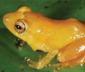 Photo: Senckenberg / The Yellow Dyer Rain Frog is among the newly discovered species.