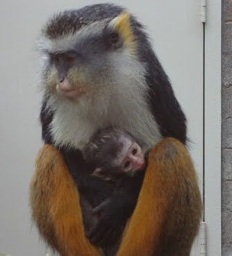 Photo: Rare monkey born at Sacramento Zoo / Christa Klein, Sacramento Zoo