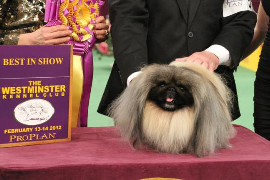 Photo: Credit: Mary Bloom / Malachy the Pekingese, 2012 Westminster Best in Show winner.