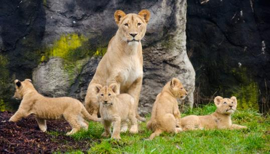 Photo: Lion cubs make first appearance in Seattle / Ryan Hawk/Woodland Park Zoo