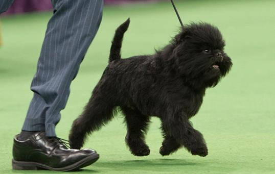 Photo: Frank Franklin II, AP / Westminster's Best in Show winner, Affenpinscher Banana Joe, takes a lap around the ring.