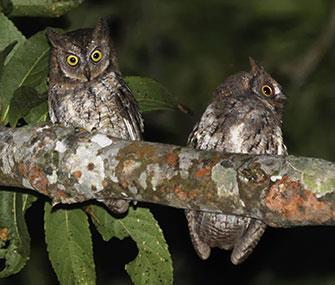 Photo: Philippe Verbelen / The Rinjani scops owl was discovered on the Indonesian island of Lombok.