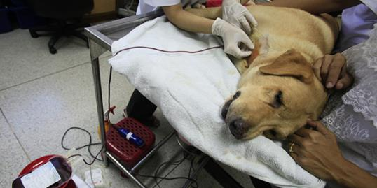 Photo: Gundum, a five-year-old Labrador lies on a surgical table as veterinarians prepare to collect her blood as part of volunteer activities for canine blood donation./ Sakchai Lalit/AP
