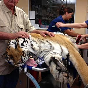 Photo: Vernon Yates, founder of Wildlife Rescue and Rehabilitation, lays his hands on Ty, a 400-pound tiger, as staff prepare to surgically extract a 4-pound hairball from the big cat on Wednesday, May 22, 2013, in Clearwater, Fla.(AP Photo/Courtesy BluePearl Veterinary Partners, James Judge)