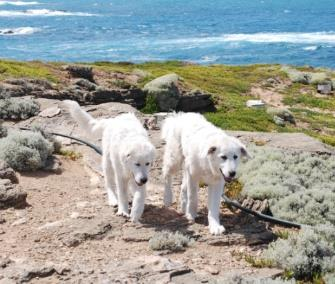 Photo: Two Maremma sheepdogs have helped keep foxes from endangered penguins on an Australian island. / Middle Island Maremma Project