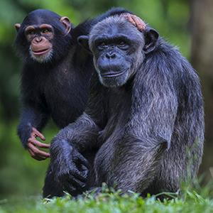 Photo: Chimpanzees / Manoj Shah/Getty Images