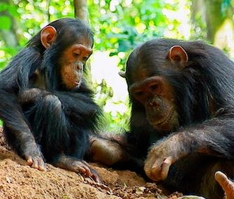 Photo: Under the new proposal, chimps in captivity would get the same protections as those in the wild. / The Jane Goodall Institue