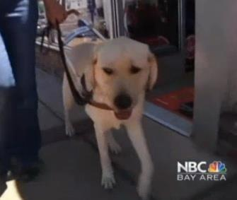 Photo: Guide dog in training O'Neil is being called a hero for alerting his trainers to an oncoming car. / NBC Bay Area