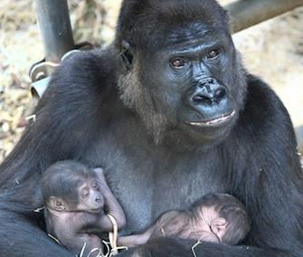 Photo: Gorilla mom N'Gayla gave birth to twins at the Burgers' Zoo in The Netherlands last week. / Burgers' Zoo
