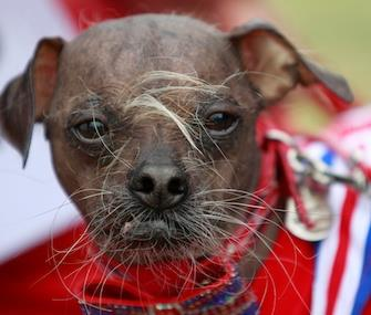 Photo: Mugly, a Chinese-Crested from England, won the title in 2012. / AP