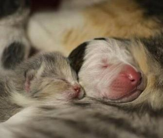 Photo: Noland, a Pit Bull puppy, snuggles up to his feline mom with one of his littermates. / Twitter / Cleveland APL