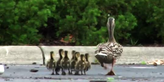 Photo: Photo: A mama duck and her ducklings waddle off after getting help from Columbus State Community College's police. / ABC News