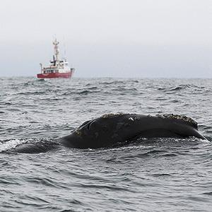 Photo: Rare whale spotted / Courtesy of Fisheries and Oceans Canada