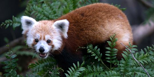 Photo: This undated handout photo provided by the National Zoo shows a red panda named Rusty that went missing from its enclosure at the zoo in Washington D.C. on June 24 (AP Photo/Smithsonian's National Zoo, Abby Wood)