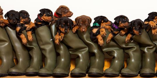 Photo: Doberman has litter of 13 puppies in England / Lee Sanders / SWNS.com