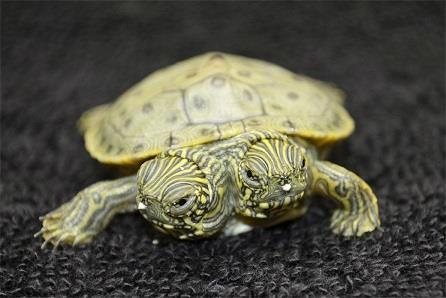 Photo: Thelma and Louise, a two-headed Texas cooter turtle, is seen in an undated photo provided by the San Antonio Zoo. (AP Photo/San Antonio Zoo)