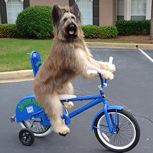 Norman the dog riding a bike (Karen Cobb/Splash News)