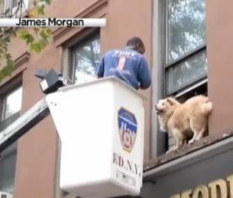 A firefighter rescued a dog from a second-story window ledge in Brooklyn. / James Morgan via NBC New York