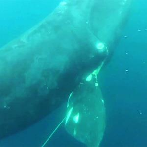 Video still of fishing gear wrapped around a rare right whale seconds before Adrian Colaprete cut the line to free it (THE WILD LYFE via Vimeo, http://aka.ms/rwhale)