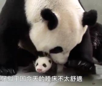A panda cub is reunited with her mom at the Taipei Zoo. / YouTube