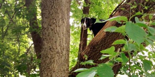 Laddy, a border collie, who was found stuck in a tree two blocks from his Davenport, Iowa home on August 11 (Ron Stevenson/AP)