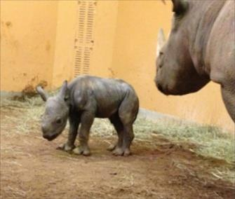 Baby rhino born in Atlanta, courtesy of VetStreet