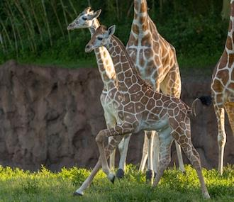 Giraffe babies, courtesy of Busch Gardens