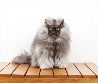 Colonel Meow's 9-inch fur has put him in the 2014 edition of the Guinness Book of World Records. / Guinness World Records