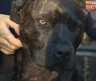 Jeff, a Staffordshire Terrier, is credited with defending his family from a deadly snake. / Australia's First on 7