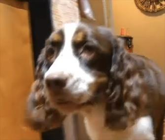 Bonnie, a deaf English Springer Spaniel, is being credited with alerting her owner to the presence of an intruder. / KPTV