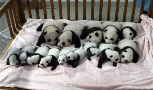 Fourteen of the panda cubs who were born at the Chengdu Research Base in China met the public on Monday. / AP
