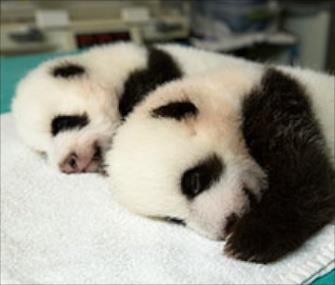 Baby pandas, courtesy of Atlanta Zoo