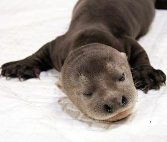 An endangered giant river otter pup was born in Asia in August. / Wildlife Reserves Singapore