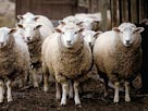 Image: Sheep (© Fancy/Veer/Corbis)