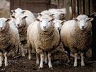 Image: Sheep (© Fancy/Veer/Corbis)
