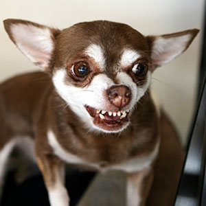 Image: Brown Chihuahua snarling with teeth showing (© Michelle Kelley Photography/Flickr RF/Getty Images)