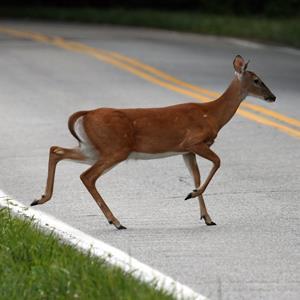 Deer crossing road (© Wayne Bierbaum/Flickr Open/Getty Images)
