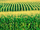 Image: Corn field (© Bob Rashid/Brand X/Corbis)