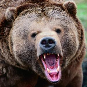 Roaring Grizzly Bear by Stephen Lackie, Corbis