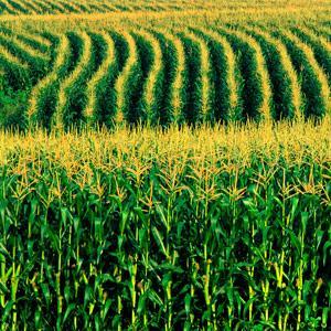 Corn field copyright Bob Rashid, Brand X, Corbis